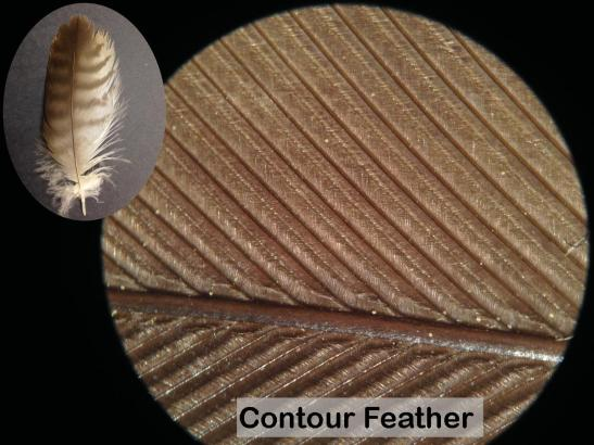 contour-feather