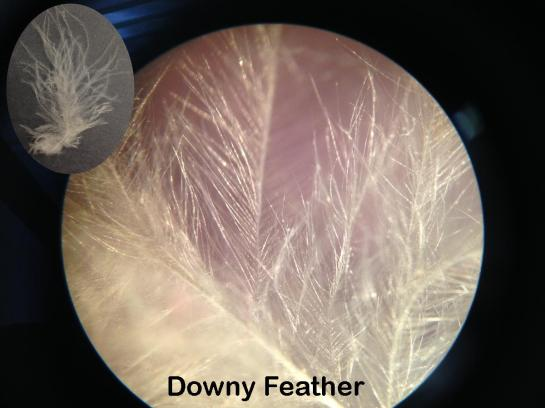 downy-feather