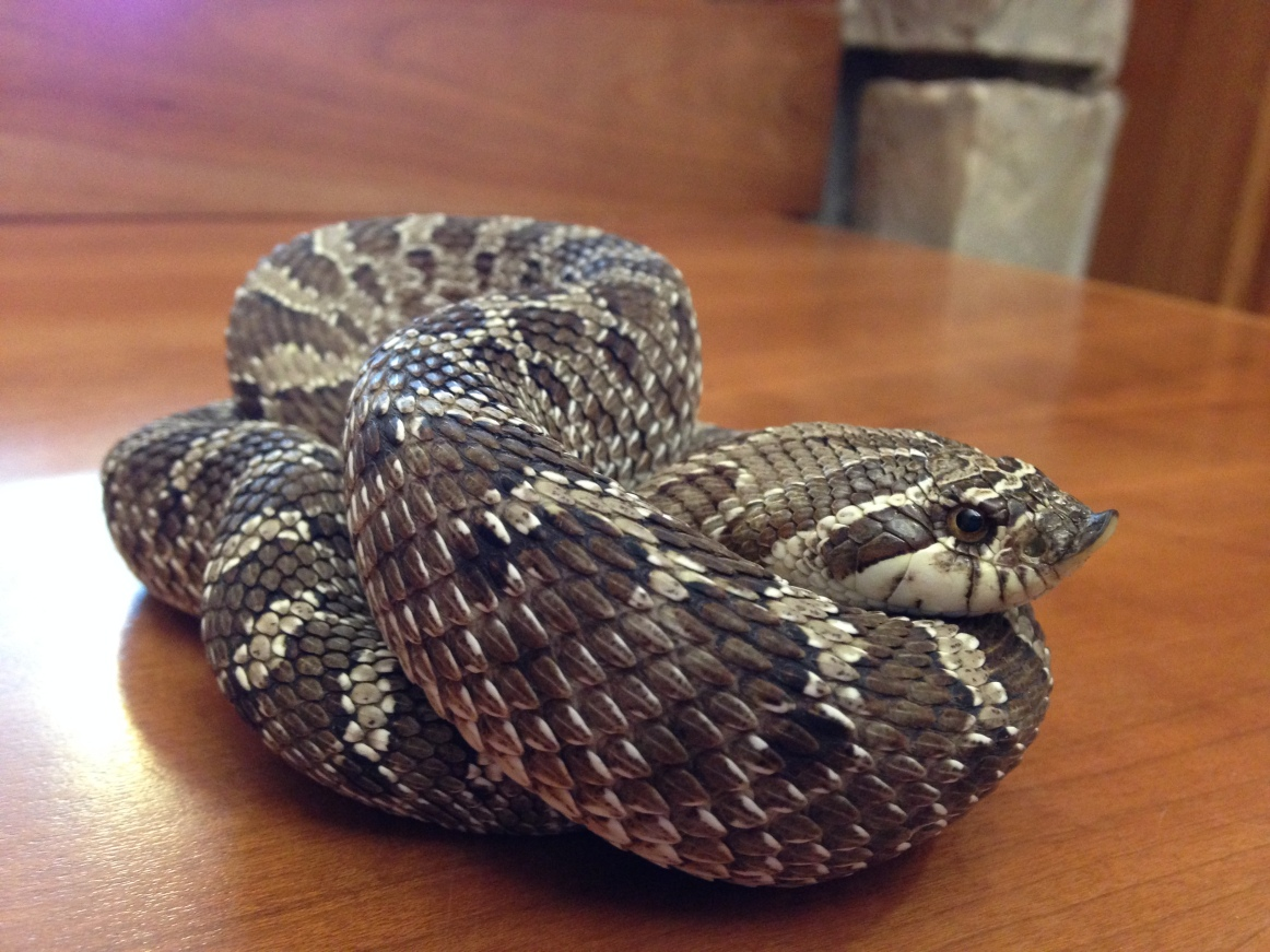 Digger - Western Hognose Snake.jpg