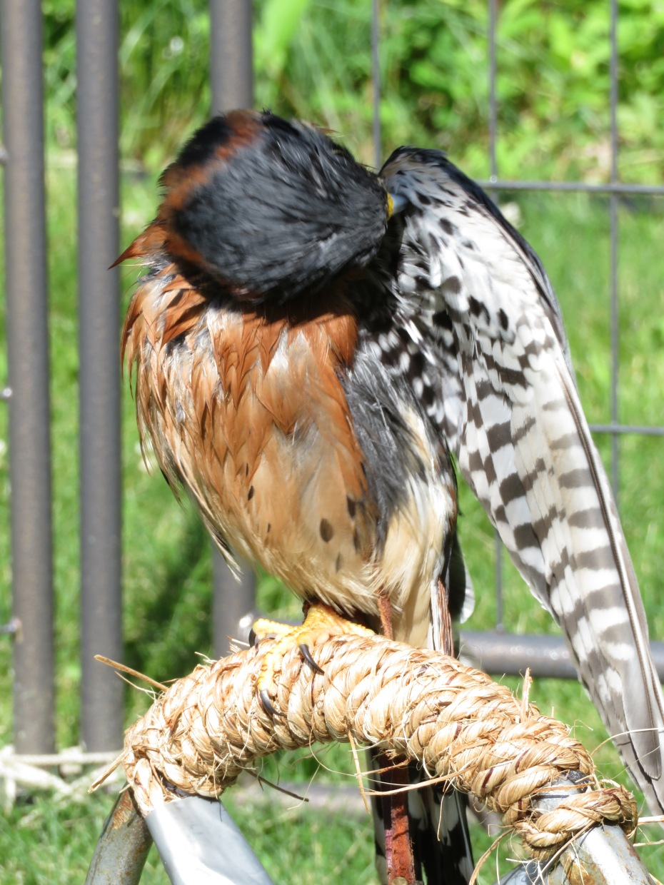 Aldo preening after a good misting.JPG